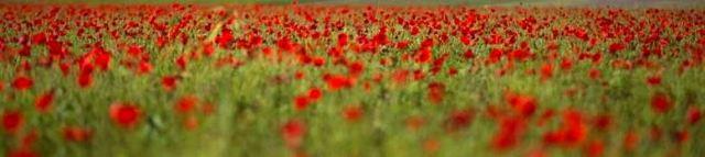 Poppies Hilltop